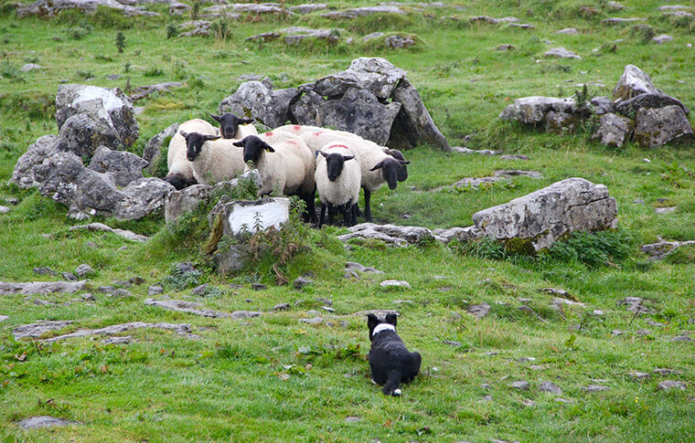Dog herding a group of sheep